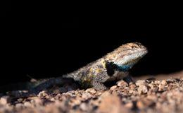 Ground level shot of a desert lizard Royalty Free Stock Image