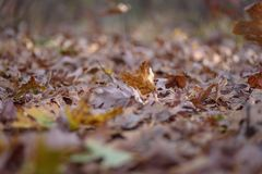 Worms eye view of fall leaves on forest floor Royalty Free Stock Image