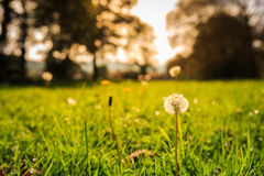 Ground level view of a dandelion between green grass and sun on the horizon through the trees Stock Photo