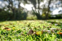Ground level view of fallen leaves seen on a cut lawn during early autumn. Royalty Free Stock Image