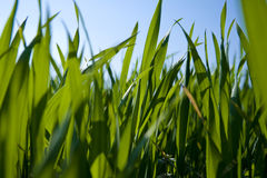 Ground-level view of grass. A view of green blades of grass from a ground-level perspective Stock Photography