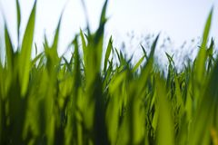 Ground-level view of grass. A ground-level view, looking through blades of green grass Royalty Free Stock Image