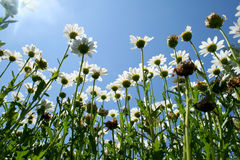 Dasiy Crazy. Ground level view looking up under the daisies royalty free stock image