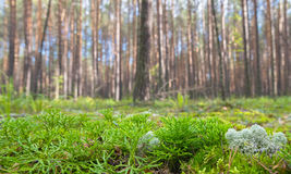 Ground Level View of Summer Coniferous Forest Royalty Free Stock Photo