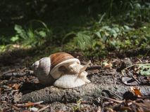 Helix pomatia_Schnecke_wide on the ground Royalty Free Stock Photo