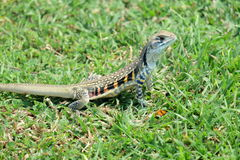 Ground lizard Stock Image
