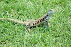Ground lizard Royalty Free Stock Photo