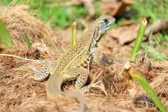 Ground lizard Royalty Free Stock Image