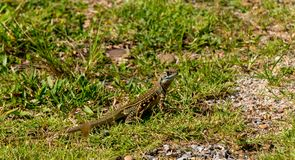 Ground lizards on ground. Aware for people royalty free stock image