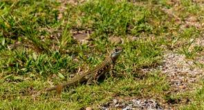 Ground lizards on ground Royalty Free Stock Image