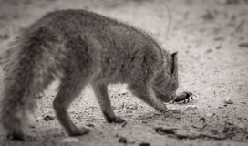 Ground Mongoose Chasing a beetle Royalty Free Stock Photo