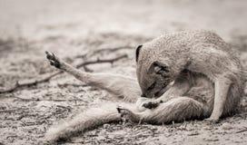 Ground Mongoose Grooming Stock Photo