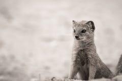 Ground Mongoose Portrait Stock Photos
