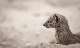 Ground Mongoose Portrait Stock Image
