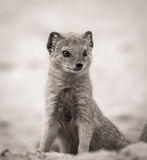 Ground Mongoose Portrait Stock Images