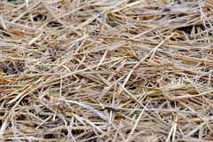 Close up of dried rice straw in the paddy field for background texture stock image
