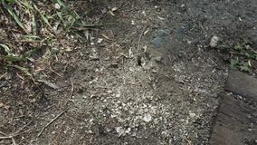 Ants nest in the ground. In the ground near the sleepers nest of ants stock footage