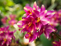 Ground orchid Royalty Free Stock Image