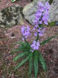 Ground orchid. Purple ground orchid with spotted leaves Stock Photo