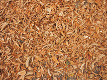 Ground in the park, covered with fallen leaves of chestnut Stock Photos