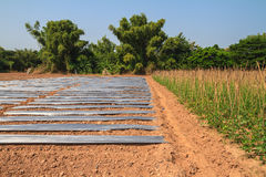 Ground with plastic protecting and Yard long bean farm Royalty Free Stock Images