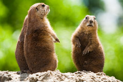 Ground of prairie dogs Stock Image