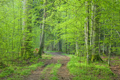 Ground road crossing fresh green springtime forest. And tree with tourist trail sign on it Royalty Free Stock Photo