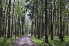 Ground road entering forest. Deciduous stand of Bialowieza Forest at sunnny springtime morning and ground road leading inside against sunlight Royalty Free Stock Images