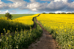Ground Road in Flowering Field, beautiful countryside Royalty Free Stock Images