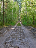 Ground road in forest birch-tree, Royalty Free Stock Photography