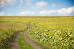 Free Ground Road In A Sunflower Field Royalty Free Stock Photos - 26794328