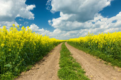 Ground road in rapeseed field royalty free stock photography