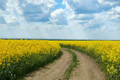 Ground road in yellow flower field, beautiful spring landscape, bright sunny day, rapeseed Stock Photo
