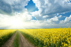Ground road in yellow flower field with sun, beautiful spring landscape, bright sunny day, rapeseed royalty free stock image