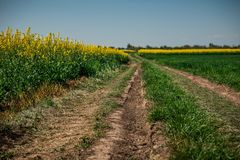 Ground road in yellow flower field with sun, beautiful spring landscape, bright sunny day, rapeseed stock photography