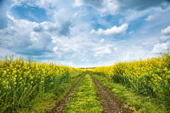 Ground road in yellow rapeseed field royalty free stock photos