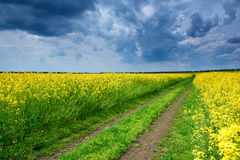 Ground road in yellow rapeseed flower field Stock Image