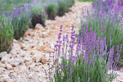 Ground between rows of lavender. Royalty Free Stock Image