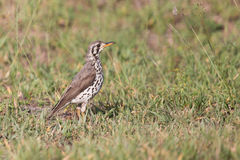 Ground scraper thrush hunting for insects on short grass Royalty Free Stock Photo