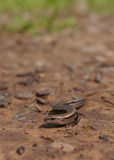 Ground skink Royalty Free Stock Photos