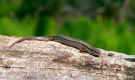 Ground skink Stock Image