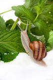 GROUND SNAIL WITH MINT LEAVES Stock Photography