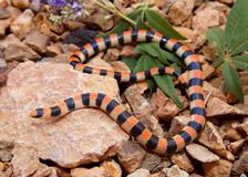 Ground Snake, Sonora semiannulata. Coral Snake mimic- the desert dwelling Ground Snake, Sonora semiannulata of the Mojave Desert Stock Images