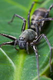 Ground spider Stock Image