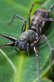 Ground spider. A black ground spider on green leaf Stock Image