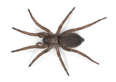 Ground spider (Gnaphosidae) Stock Photo
