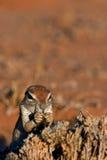 Ground Squirel. Kalahari, South Africa Stock Images