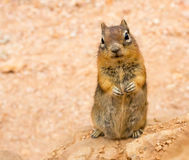 Ground squirell on sandy soil background. Stock Photos