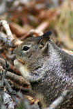 Ground squirrel 1 Royalty Free Stock Photography