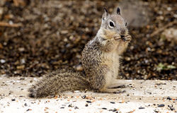 Ground Squirrel. A young ground squirrel eating bird seed  placed on a cement patio Royalty Free Stock Photo